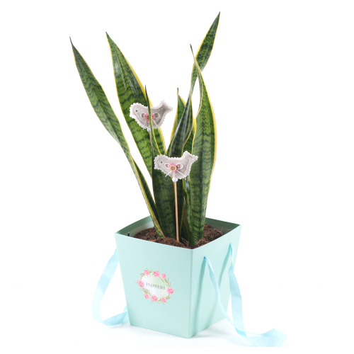 Flower bag sansevieria